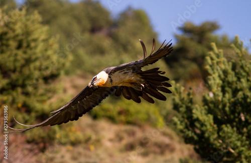 Bearded vulture in flight.