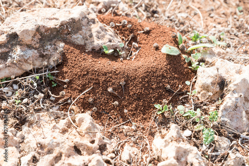 Photo Anthill in Sicilian red soil