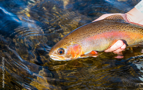 Fotobehang Woman Releasing Rainbow Trout Caught Fly Fishing On Colorado