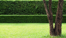 A Tree And Background Of Tree Hedges, Double Layers  (two Steps);  Small And Tall Hedges.