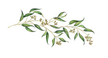 Eucalyptus Branch With Seeds Isolated On White. Watercolor Illustration.