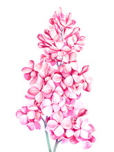 Lilac Isolated On White. Watercolor Hand Drawn Illustration.