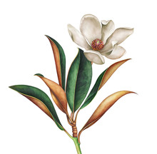 Magnolia Branch With White Flower. Hand Drawn Watercolor Illustration.