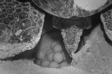 COZUMEL, Mexico: Sea Turtle Nest On The Beach, Nesting Season, Black And White