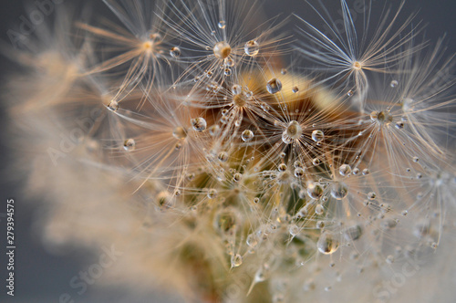 Fototapety, obrazy: Close up Water drops on dandelion seeds. An artistic picture of dandelion flower