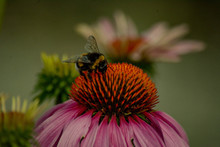 A Bumblebee And A Coneflower