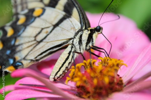 Eastern Tiger Swallowtail Butterfly on Pink Zinnia