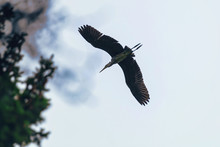Silhouette Of A Grey Heron Inflight To The Nest In The Woods Near The Lake
