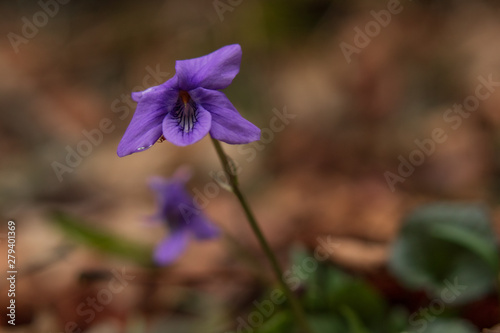 Violets close-up