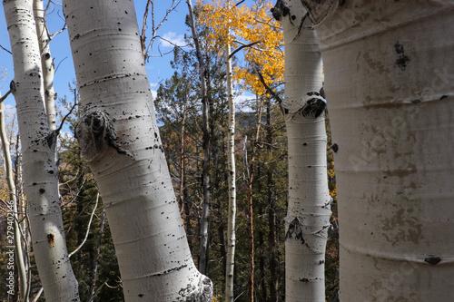 Tuinposter Berkbosje aspen bark