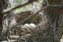 Birds Nest With Eggs