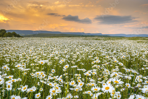 Photo sur Aluminium Pres, Marais camomile field