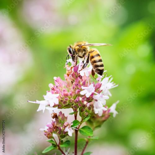 Poster Ouest sauvage Honey bee pollinate marjoram flowers