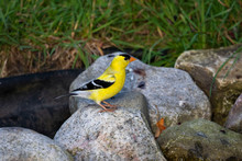 The American Goldfinch (Spinus...