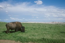 Wild Bison Grazing The Grass In Badlands National Park, South Dakota