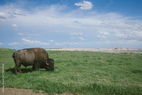 Wild bison grazing the grass in Badlands national park, South Dakota Wallpaper Mural