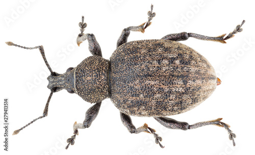 Photographie Otiorhynchus ligustici, known as the alfalfa snout beetle or lovage weevil, is a species of broad-nosed weevil in the family Curculionidae