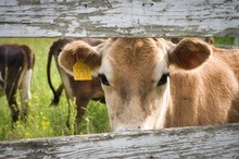 Cow Looking Through Board Fence
