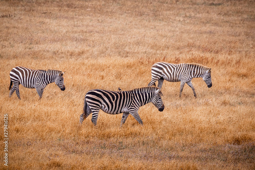Poster Zebra Three zebras grazing in a golden grassland in California one with a bird on its back.