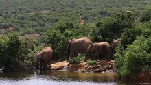 Elephant Drinks From A Waterhole As Three Otherse Around Beside Him In The