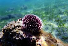 Underwater Mediterranean Purple Sea Urchin - Sphaerechinus Granularis