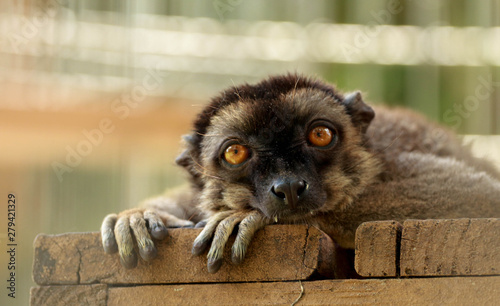 Valokuvatapetti Portrait / Face of a brown lemur