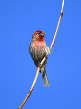 Red House Finch Standing On Tw...