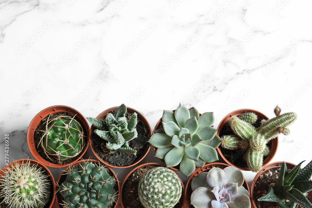 Fototapeta Flat lay composition with different succulent plants in pots on marble table, space for text. Home decor