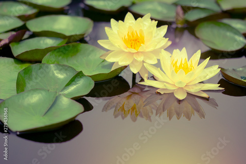 Poster de jardin Nénuphars Beautiful Thai Lotus that have been appreciated with dark blue water surface