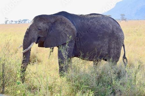 African Elephant grazing 1 Wallpaper Mural