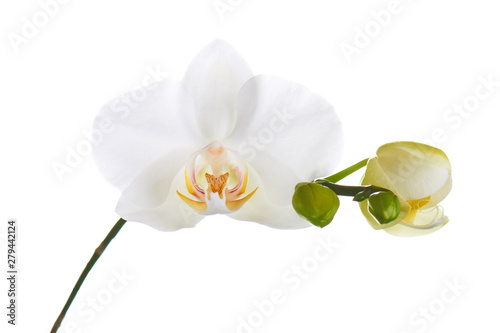 Garden Poster Orchid Orchid isolated on white background.