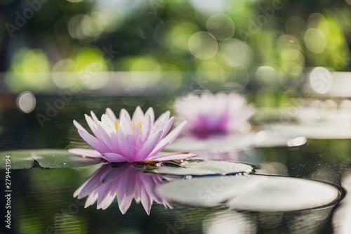 Poster de jardin Nénuphars beautiful lotus flower on the water in garden.