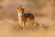 Jackal And Evening Sunlight. Black-Backed Jackal, Canis Mesomelas Mesomelas, Portrait Of Animal With Long Ears, Kgalagadi, South Africa. Beautiful Wildlife Scene From Africa With Nice Sun Light.