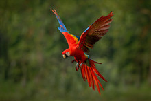 Macaw Parrot Flying In Dark Green Vegetation With Beautiful Back Light And Rain. Scarlet Macaw, Ara Macao, In Tropical Forest, Costa Rica. Wildlife Scene From Tropical Nature. Red In Forest.