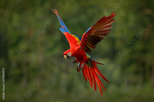 Fényképezés Macaw parrot flying in dark green vegetation with beautiful back light and rain