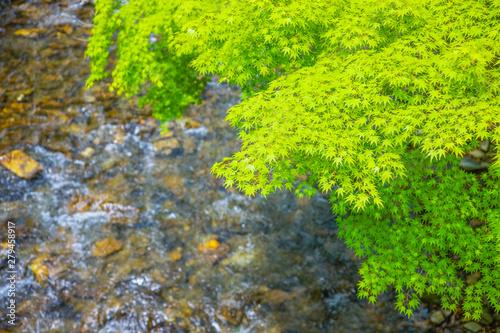 Photo 京都 高雄 カエデの新緑と清滝川のせせらぎ