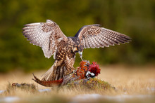 Falcon With Caught Kill Pheasa...