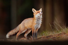 Cute Red Fox, Vulpes Vulpes In...