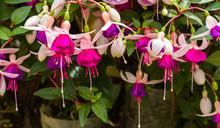 Fuchsia Flowers In Garden