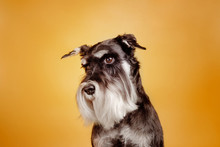 Schnauzer On Yellow Background