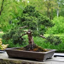 Bonsai Conifer In A Ceramic Bo...