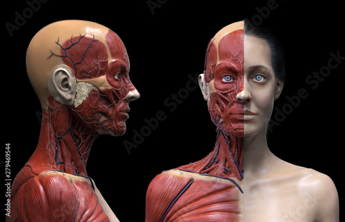 Human body anatomy muscles structure of a woman, front view, 3d render Canvas Print