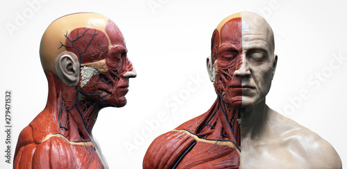 Human body anatomy muscles structure of a male, front view and side view , 3d re Wallpaper Mural