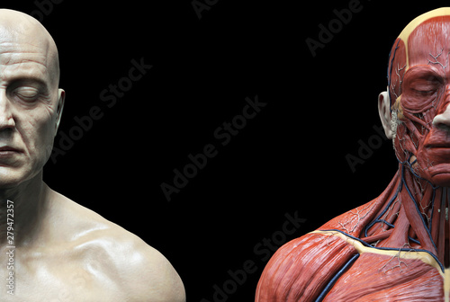 Slika na platnu Human body anatomy muscles structure of a male, front view , 3d render