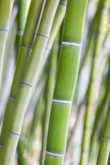 Bright green bamboo stalks on soft background