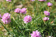Thrift, Sea Thrift Or Sea Pink