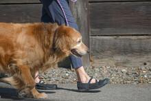 Golden Retriever Dog Being Wal...