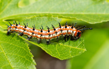 Variegated Fritillary Butterfly Caterpillar Eating A Passion Vine Leaf