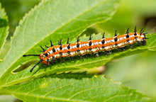 Variegated Fritillary Butterfly Caterpillar On A Leaf Of Its Host Plant, The Passion Vine