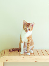 Yellow Cats Sit On Wooden Chairs And Cream-colored Walls.